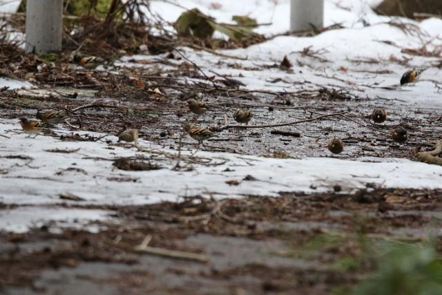 宮ヶ瀬湖の小早川林道のアトリの群れ