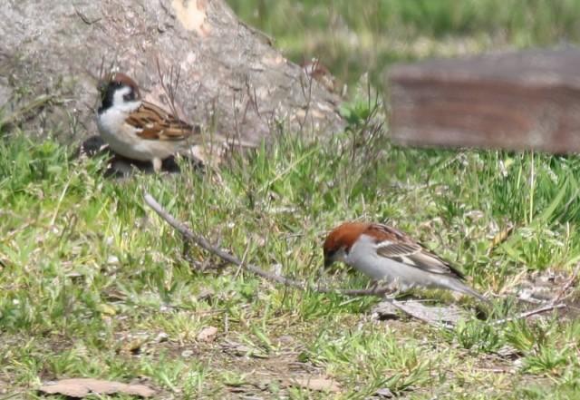 川里中央公園のニュウナイスズメとスズメ