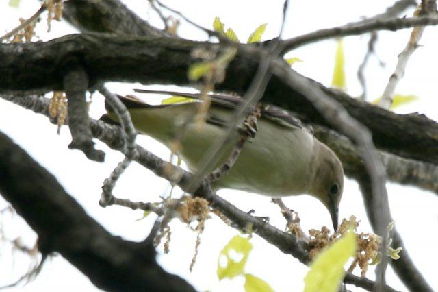 秋ヶ瀬公園 コムクドリ